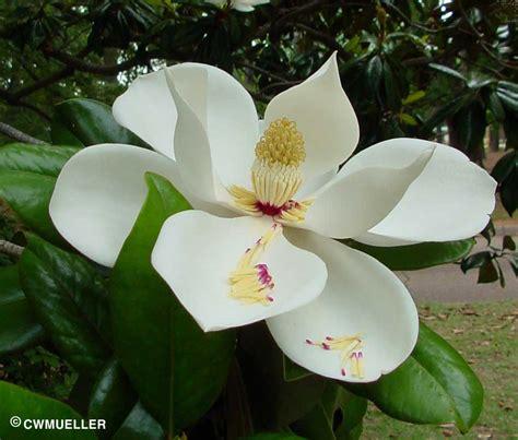 Texas State Bird Flower Tree - magnolia by dr william c welch