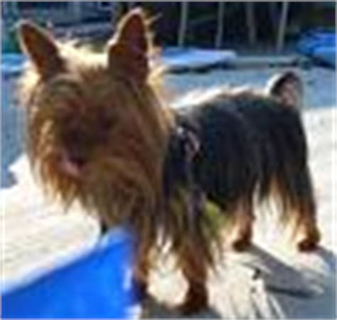 legged yorkie legged yorkie page 3 yorkietalk forums terrier community