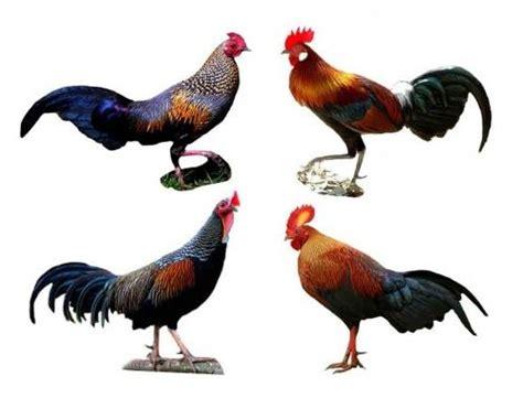 Alas Kandang Ayam Hutan hasil persilangan ayam kung ayam kate ayam alas dan