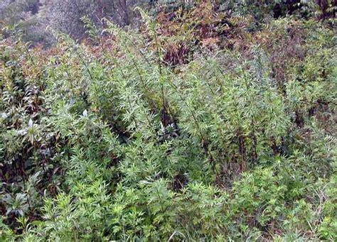fiore artemisia artemisia verlotorum segnalazione fiori e piante