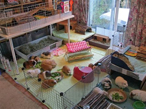 Guinea Pig Houses by 1000 Images About Guinea Pig On