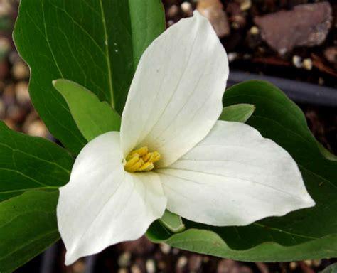 white trillium grandiflorium snow trillium plants