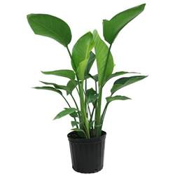 House Plant Pots Delray Plants White Bird Of Paradise In 9 1 4 In Pot