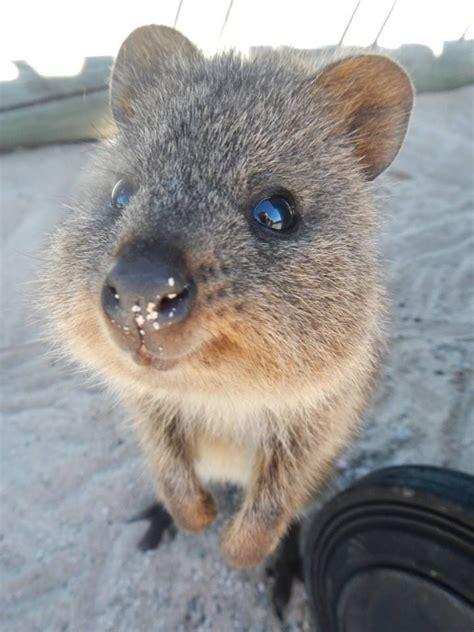 google images quokka 829 best wombats quokkas images on pinterest animals