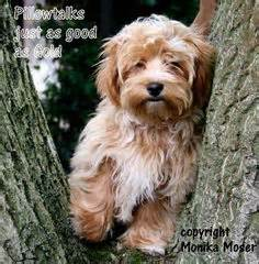 havanese puppies for sale in gilbert az havanese poodle mybaby furballs poodle and havanese puppies