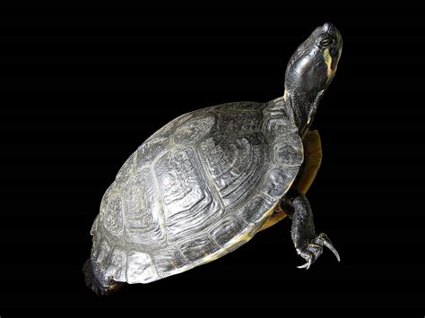 turtle shell turtle