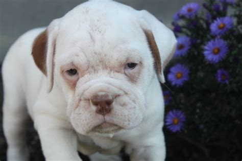 olde bulldogge puppies for sale in pa 17 best images about olde bulldogges for sale on and