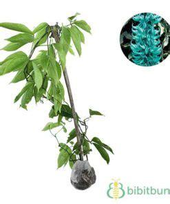 jual tanaman jade vine emerald vine bibitbungacom