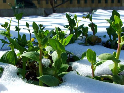winter gardening winter gardening planting vegetables in early winter for