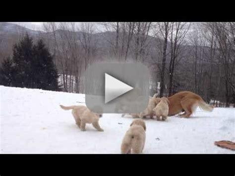 golden retriever puppy in snow golden retriever puppies play in snow the gossip