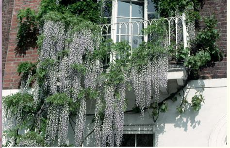 draping plants wisteria wine and lfower draping from a balcony png
