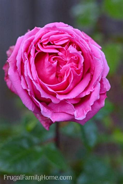 caring for a rose bush tips how to care for roses in your backyard garden