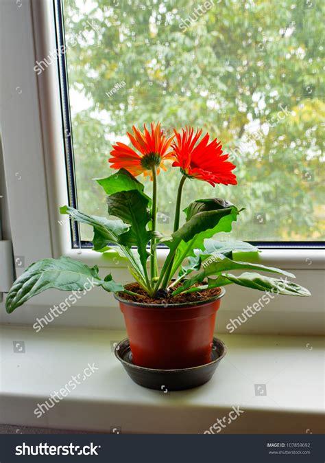 house plant gerbera daisy  flower pot