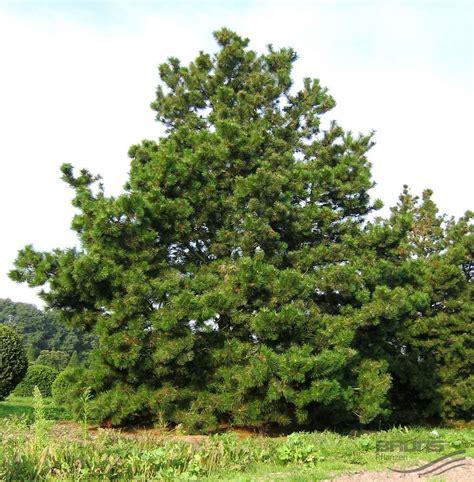 Pinset Bedah pinus contorta dougl ex loud pine pflanzen