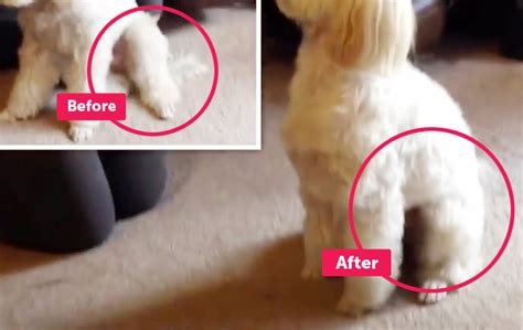 patellar luxation information about luxating patella for dogs sake