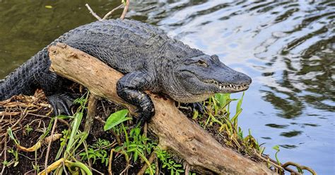 what color are alligators american alligator facts animals of america