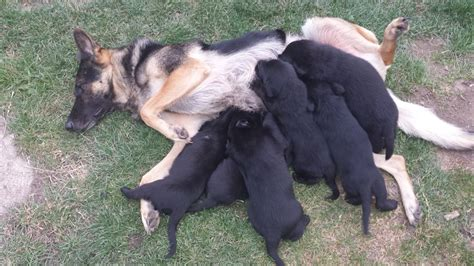 australian sheprador puppies for sale german sheprador for sale breeds picture