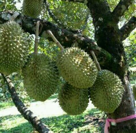 jual bibit durian montong merah  lapak benih bibit