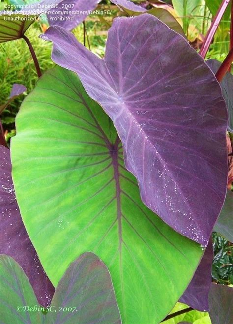 top 28 when do elephant ears come up how long for upright elephant ears to come up