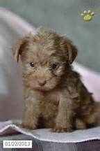 yorkie poo breeders toronto best 25 yorkie poo puppies ideas on terrier poodle mix small dogs and