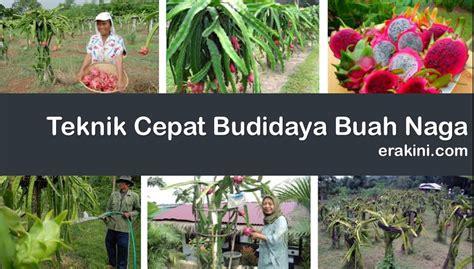 Bibit Buah Naga Busuk 9 langkah menanam buah naga cepat berbuah dan panjang umur