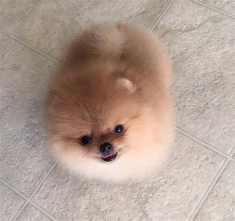 pomeranian breeders in ohio pomeranian puppies for sale in ohio and breeders white miniature pomeranian puppies uk