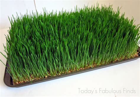 wheat grass centerpieces today s fabulous finds wheat grass centerpieces grown on
