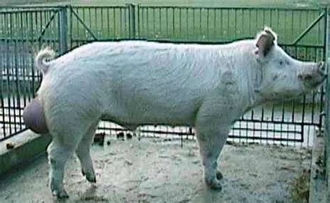 live stock :: pig :: breeds of pig