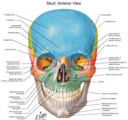 Coloring Book Pdf Free Human Anatomy Diagram Of Skull With Radiographic Land