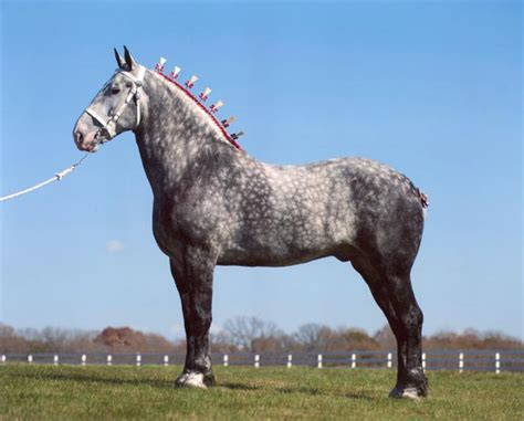Sho Kuda Di Indo percheron draft info origin history pictures