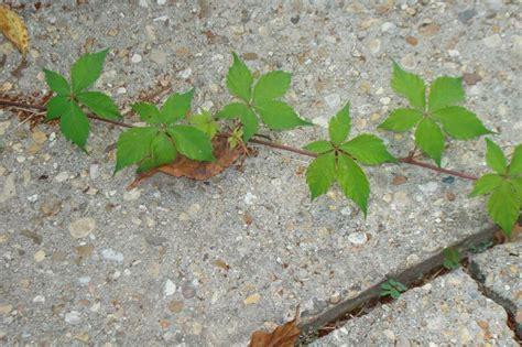 poison oak 5 leaf poison oak pictures five leaves outside stuff pinterest pictures