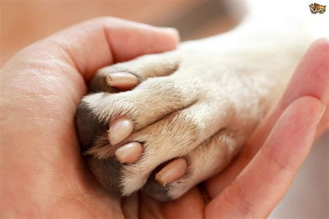 how to your to do paw identifying and treating paw infections in the pets4homes