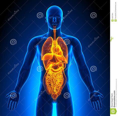 imagenes sorprendentes cuerpo humano proyecci 243 n de imagen m 233 dica 243 rganos masculinos imagenes