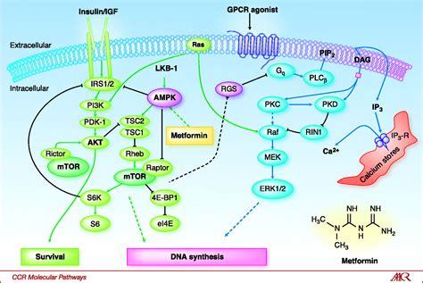 g protein signal transduction pathway crosstalk between insulin insulin like growth factor 1