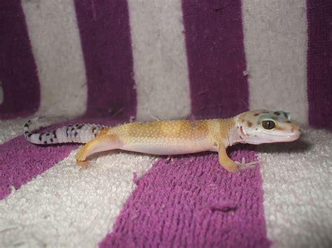 leopard geckos cuddly critters