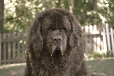 newfoundland span the one question always asked about my dogs that now makes me sad mybrownnewfies