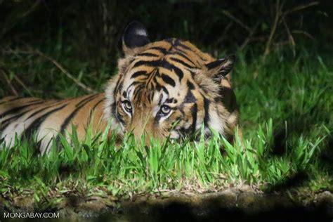 tiger denmark 100 tiger denmark world u0027s second breeding