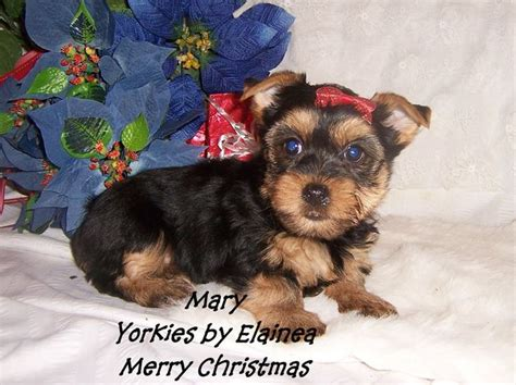 arkansas yorkies for sale 1000 images about tiny yorkie puppies for sale in arkansas on