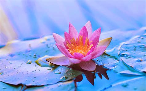 wallpapers lotus flower wallpapers