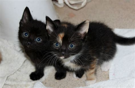 cats for sale 6 baby kittens for sale various colours swadlincote