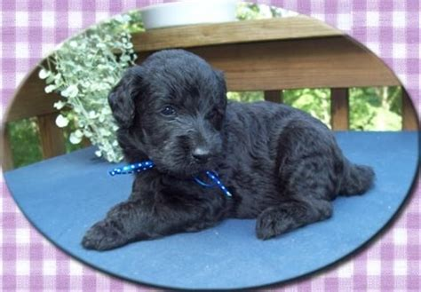 puppies for sale in ri 93 best images about labradoodles on labradoodle pictures australian