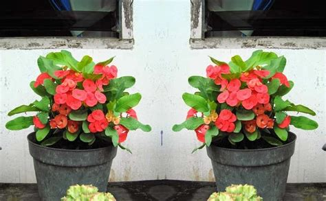 Pupuk Bunga Euphorbia cara stek bunga euphorbia bibitbunga