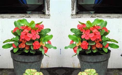 stek bunga euphorbia bibitbungacom