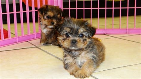yorkie tzu puppies for sale stunning teacup yorkie tzu puppies for sale in atlanta designer