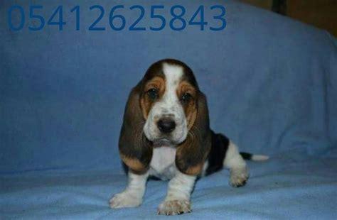 pomeranian boo sahiplenme basset hound yavrusu 05412625853