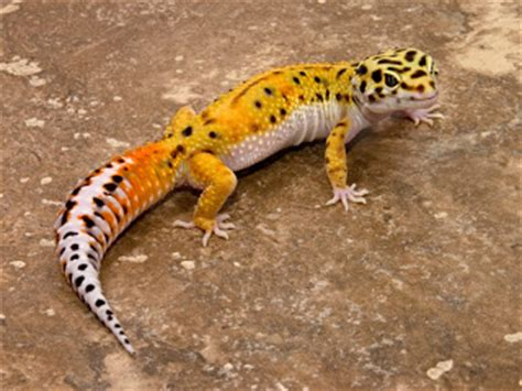 happiness is a gecko and times of a doctor books pets leopard gecko raising healthy and happy geckos