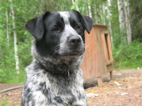 labraheeler puppies image gallery lab heeler mix