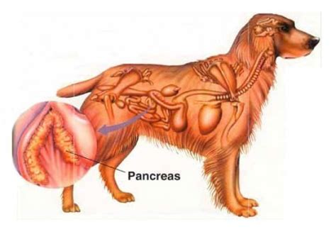 pancreatitis diet for dogs all about pancreatitis disease in canines pancreatitis in dogs obedience
