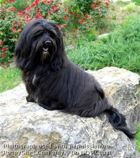 elfin havanese 17 best images about silk on poodles havanese puppies and