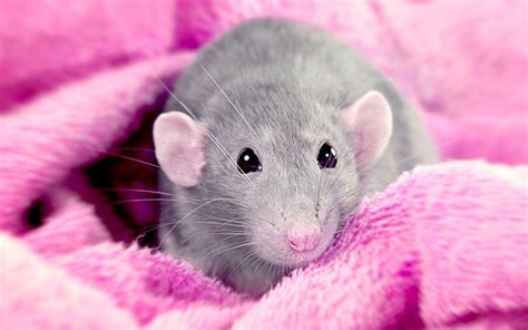 aspen bedding for rats best bedding for rats from great options to unsafe options